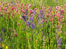 Wild Flowers, Sage And Crimson Clovers (Salvia Pratensis, Trifolium Incarnatum)