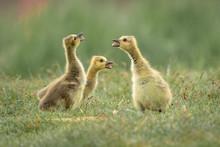 Canada Goose Ducklings In The Wild