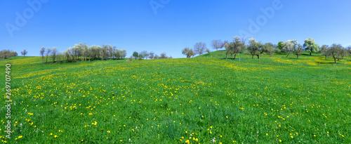 Vászonkép Panorama - Große Wiese mit gelbem Löwenzahn an einem Hügel mit blühenden Bäumen