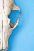 Close Up Of Animal Fox Sheep Skull On Blue Background Abstract