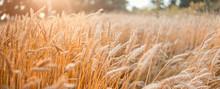 Wheat Field . Golden Wheat Ear...