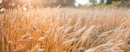 Fototapeta Wheat field . Golden wheat ears close-up with the sun. obraz