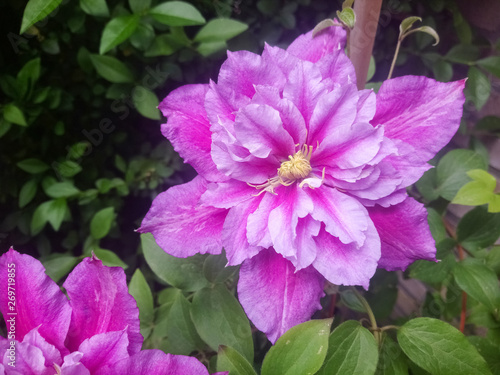 Tuinposter Azalea Beautiful pink double flowered clematis in a backyard garden. Clematis cultivar 'Piilu'.