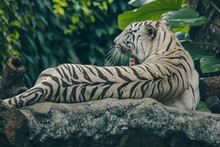 White Tiger Lying On The Rock.White Tiger There Is A Distinctive Feature That The Hair Color Is White.