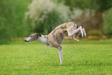 Graceful Whippet Dog Standing ...