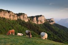 Vaches Sur Le Nivolet