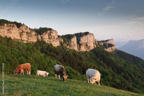 Photo sur Aluminium Vache Vaches sur le Nivolet