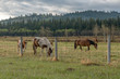 Horses on the Stoney Indian Reserve at Morley