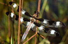 Common Whitetail Skimmer, Male...