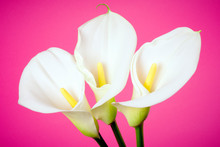 Calla Lily Arum Flower Pink Background