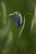 Common Blue Butterfly Polyomma...