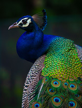 Indian Peacock, Peacock Closeu...