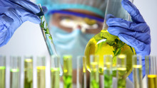 Researcher Comparing Plants In Test Tube And Flask, Genetic Breeding Experiment