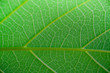 Close up of green left. Nature texture background and wallpaper concept.