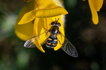 Hoverfly On Gorse Flower