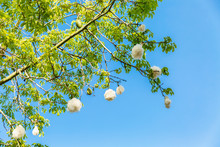 A Branch Of A Flowering Cotton Tree Against The Backdrop Of A Bright Blue Sky.