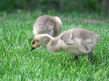 Canada Goose Goslings Eating On The Green Meadow
