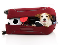 JACK RUSSELL DOG INSIDE A RED MODERN SUITCASE GOING ON VACATIONS. ISOLATED AGAINST WHITE BACKGROUND.
