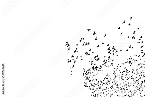Fotomural  Flyinf birds. Abstract black white nature background.