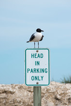 Laughing Gull On A Sign