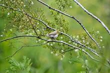 Verdin Bird In Creosote Bush Arizona