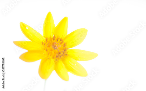 Arnica Isolated Flower Head Canvas Print