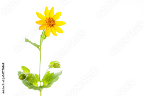 Photo Arnica Plant with Copy-Space