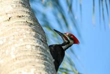 Male Pileated Woodpecker Bird ...