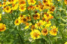 Helenium Hybrida Waltraut Snee...