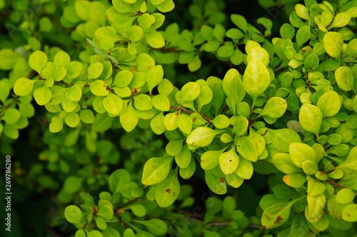 berberis thunbergii  green shrub Canvas Print