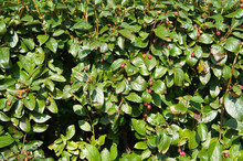 Cotoneaster Lucidus Or Shiny Cotoneaster Green Foliage Background