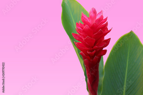 Photo Red Ginger (Alpinia purpurata) Flower with Green Leaves