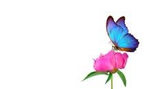 Beautiful Blue Morpho Butterfly On A Flower On A White Background. Copy Spaces. Pink Peony Bud And Butterfly