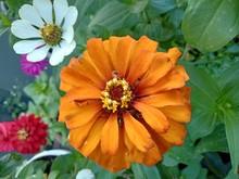 Orange Zinnia Elegans Flower In The Garden