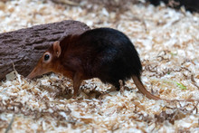 Giant Elephant Shrew From Tanz...