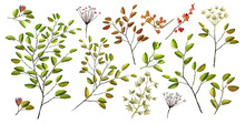 Watercolor Illustration. Botanical Collection Of Wild And Garden Plants. Set: Leaves Flowers, Branches, Berries, Seeds And Other Natural Elements. All Drawings Isolated On White Background.