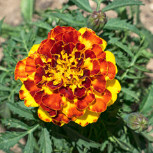 Macro Of A Yellow And Red Dwarf French Marigold Flower Centered On A Background Of Slightly Blurred Leaves
