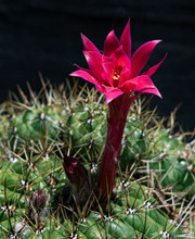 A Tall Red And Magenta Cactus Flower Stands Tall Above The Round And Very Spiny Plant