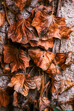 Dried Brown Dead Leaves On Stone Wall. Autumn Scene With Dry Foliage Looking Like Leather Or Wax