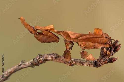 Obraz na plátně  Ghost Mantis (Phyllocrania paradoxa) showing leaf like camouflage