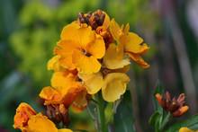 Close Up Of Yellow Erysimum (w...