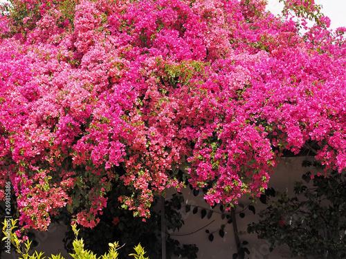 Spoed Fotobehang Roze Wonderful pink blooming azalea flowers