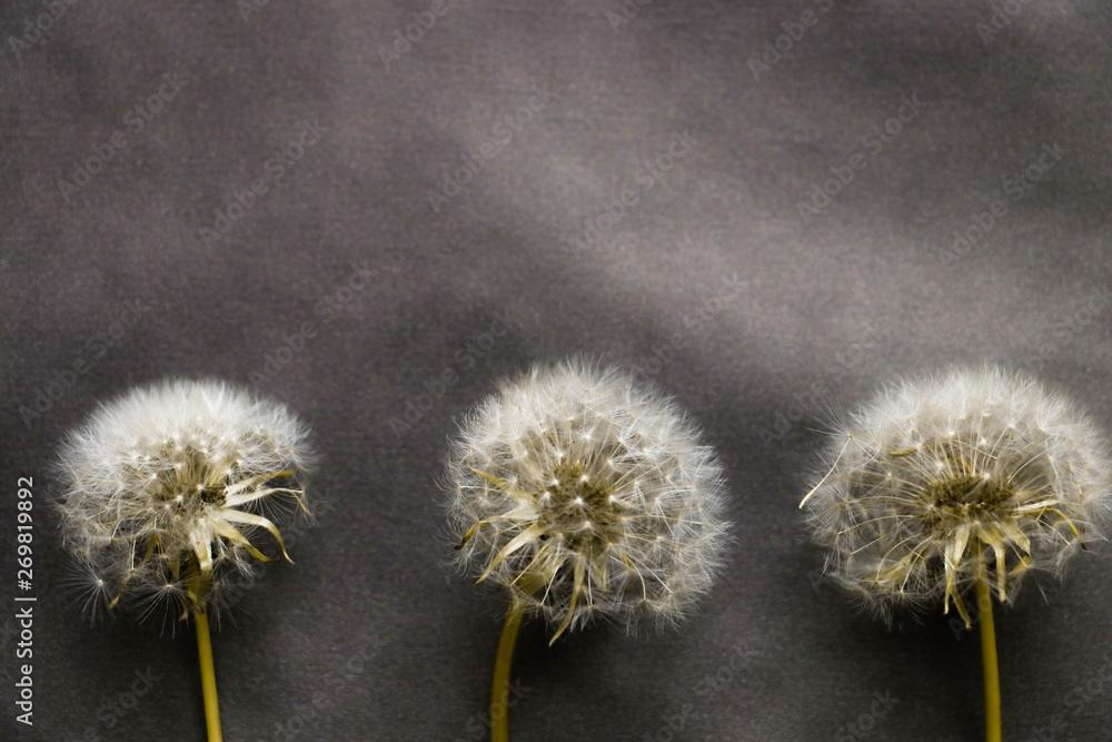 Fototapety, obrazy: dandelions on a gray background