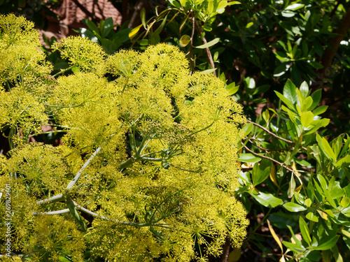 Photo Ase fétide ou férule persique (Ferula asa foetida), une plante sur haute tige ra