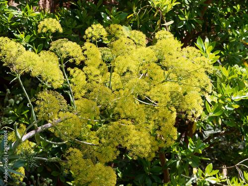 ase fétide, ferula, asa foetida, assa-foetica, férule persique, apiaceae, résine Canvas Print