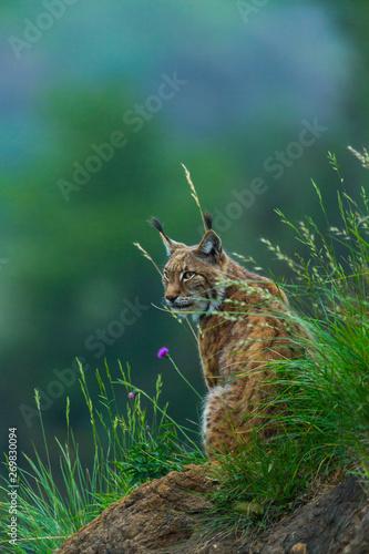 Photo sur Toile Lynx Eurasian lynx (Lynx lynx)
