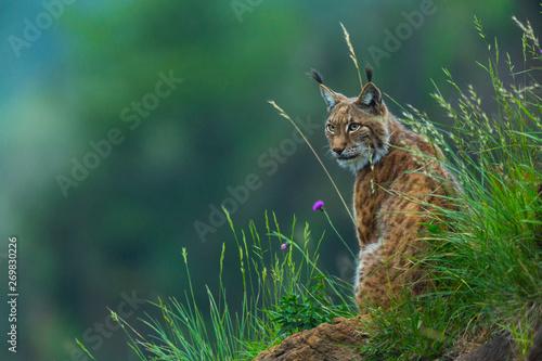Fotografia, Obraz Eurasian lynx (Lynx lynx)