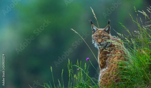 Fotografia Eurasian lynx (Lynx lynx)