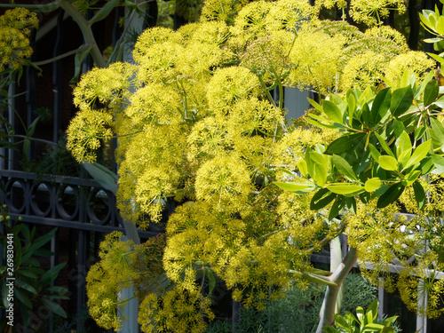 Ase fétide ou férule persique (Ferula asa foetida), une plante sur haute tige ra Wallpaper Mural