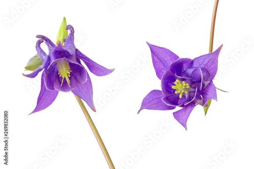 Foto Zwei blaue Akeleien (aquilegia vulgaris), freigestellt
